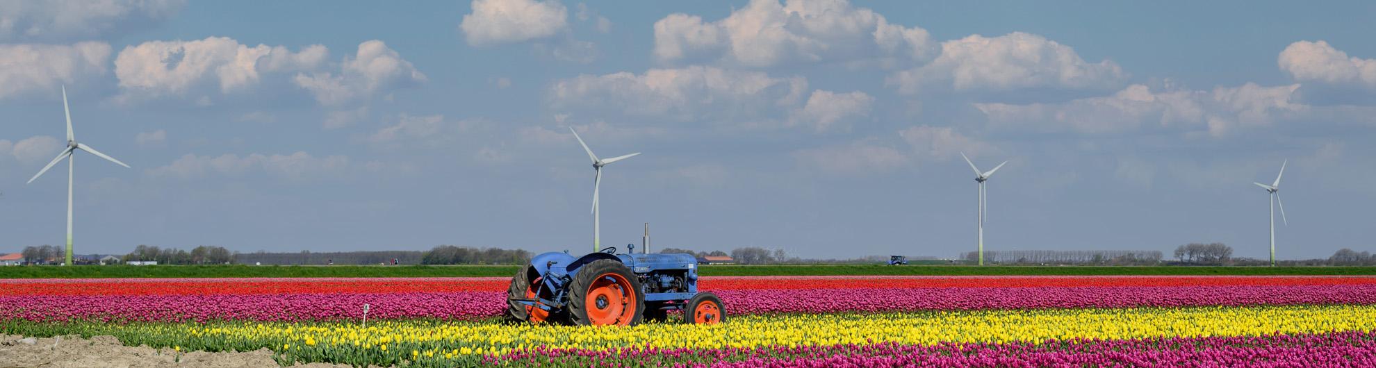 Tulpenveld Flevoland